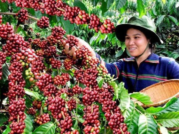 Giá cà phê biến động mạnh, đầu tư đến cuối năm sẽ sinh lời