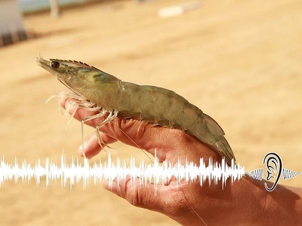 Công cụ giám sát âm thanh nhấp mồi của tôm giúp ước tính được tỷ lệ cho ăn
