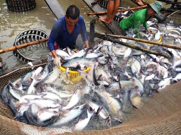Giá cá tra tăng nhiều ngày liên tiếp, liệu có đạt đỉnh kỉ lục của năm 2018?