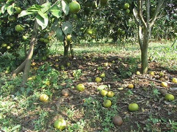 CS-Tuyệt chiêu chống rụng quả cho cây bưởi Diễn
