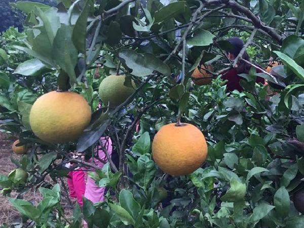 """SB-Hiện tượng """"cam ngơ"""" – nỗi ám ảnh của người trồng cam"""