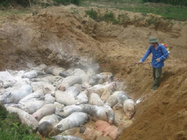 Tiêu hủy 545 con lợn mắc dịch tả lợn châu Phi, nông dân bất lực nhìn của cải ra đi
