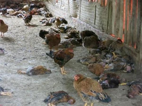 Ổ dịch cúm gia cầm mới: Nông dân trắng tay vì hàng loạt gia cầm bị tiêu hủy