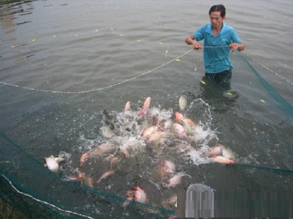 NT-Phòng tránh bệnh tật cho cá bằng cách cho ăn đúng kỹ thuật (Phần 1)