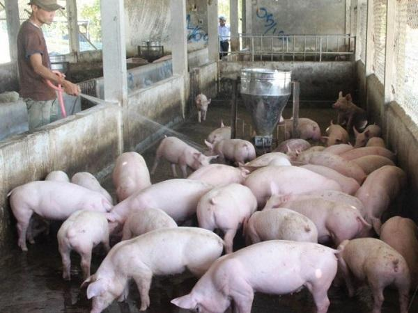N-Cách nuôi heo (lợn) thịt nhanh lớn – 6 tháng đạt 120kg