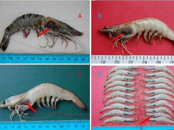 Xuất hiện bệnh khiến tôm chết hàng loạt, tỷ lệ mắc và lây lan cao