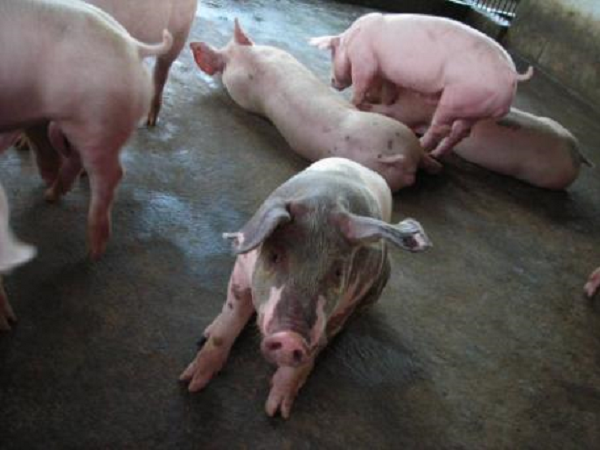N-Bí quyết phòng bệnh viêm phổi địa phương ở lợn không phải ai cũng biết