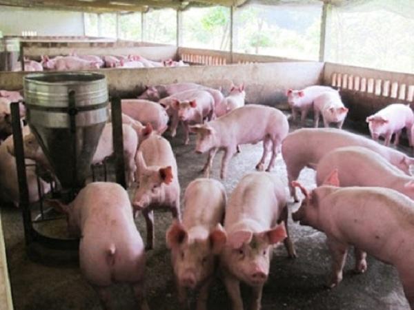 Xử phạt hộ chăn nuôi tái đàn lợn không khai báo