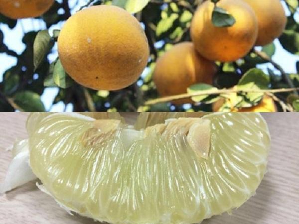 CS-Sử dụng phân đậu tương bón cho cây bưởi giúp cây tăng độ ngọt cho quả