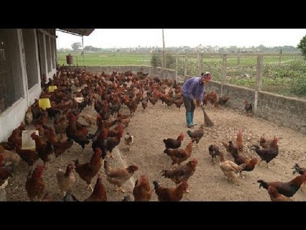 N-Kinh nghiệm chăn nuôi gà trên cát để gà ít bị bệnh cầu trùng
