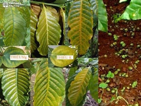 SB-Bệnh vàng lá, rụng trái trên cây cà phê