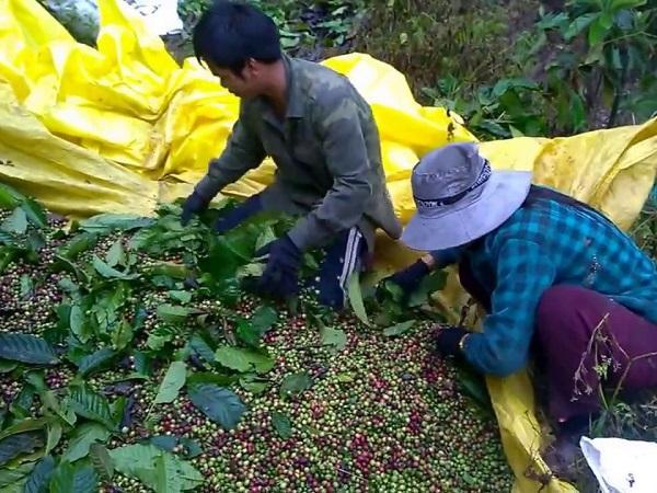 Mất mùa, rớt giá, vùng cà phê lại khan hiếm nhân công