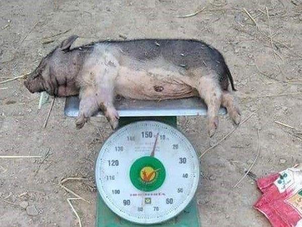Rớt nước mắt: Lợn chưa ấm chuồng đã lăn ra chết
