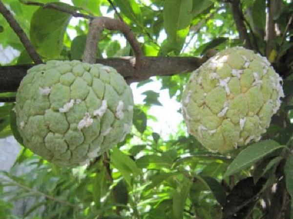 SB-Cách tiêu diệt rệp sáp trắng hại cây na hiệu quả nhất