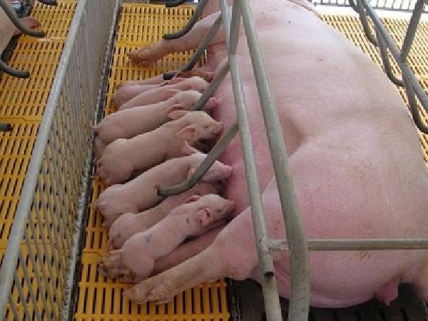 N-Cách tăng lượng sữa trong chăn nuôi heo nái
