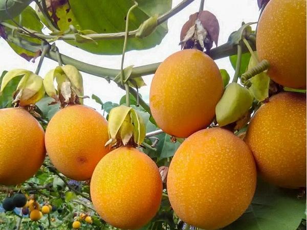 CS-Kỹ thuật trồng cây chanh dây ngọt