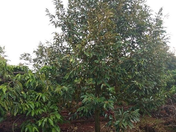 CS-Nên trồng xen cây gì trong vườn sầu riêng