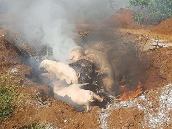 """Báo động: Bùng phát dịch """"kép"""" tả lợn châu Phi và lở mồm long móng"""