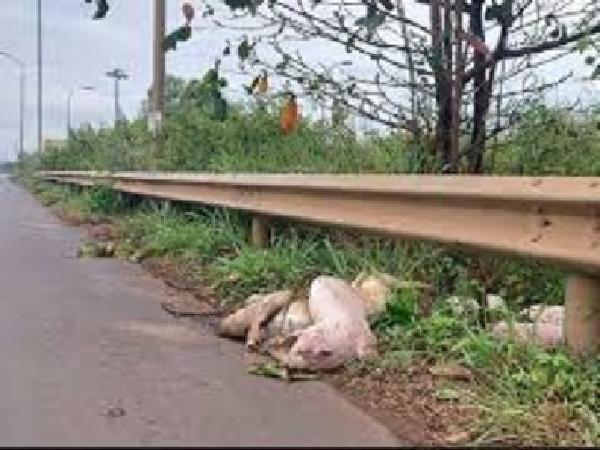 Hãi hùng heo chết vứt thành đống ven đường Quốc lộ 1