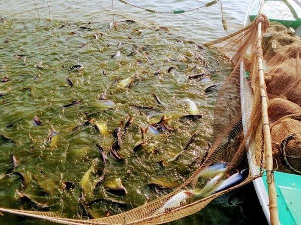 NT-Quản lý chất lượng nước trong ao nuôi cá tra