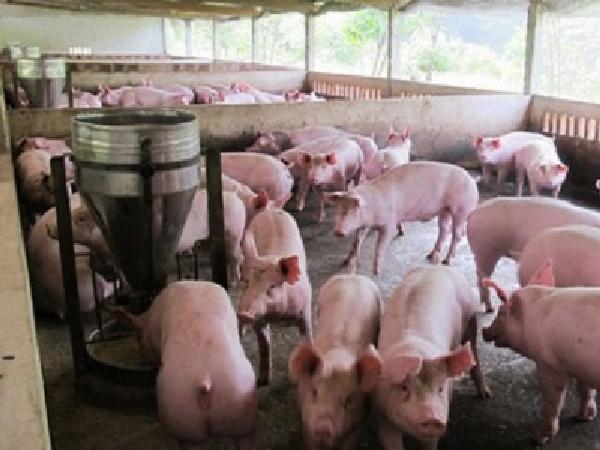 Lợn giảm giá, người nuôi nhỏ lẻ thua lỗ khoảng 500.000 đồng/con lợn 1 tạ