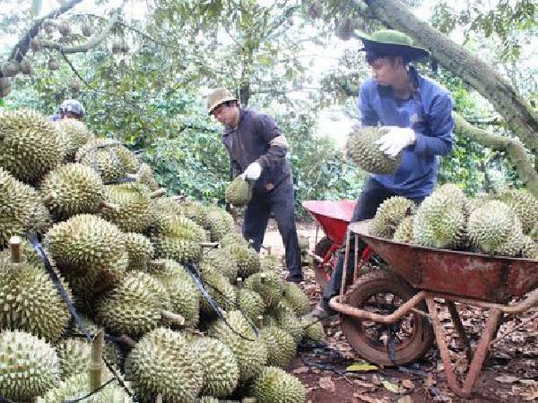 Thương lái Trung Quốc lùng mua tận vườn, giá sầu riêng Việt cao nhất 3 năm qua