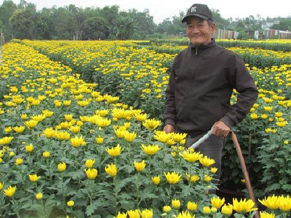 CS-Mẹo nhỏ giúp kiểm soát được chiều cao cây hoa cúc vào dịp Tết Nguyên đán