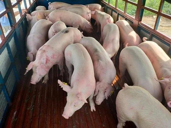 Giá lợn hơi tăng mạnh và có xu hướng tăng dần từ nay đến cuối năm