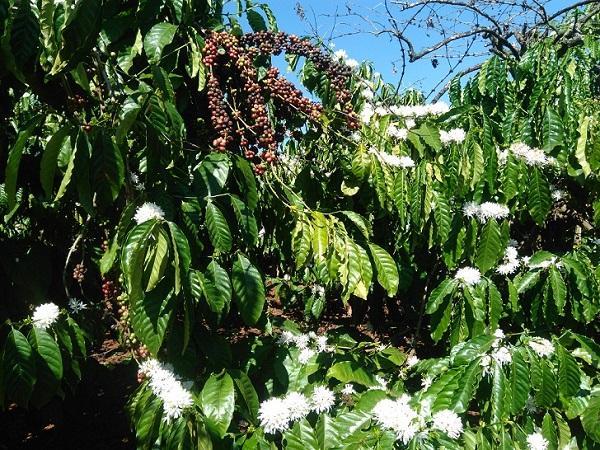 CS-Biện pháp khắc phục cà phê ra hoa sớm
