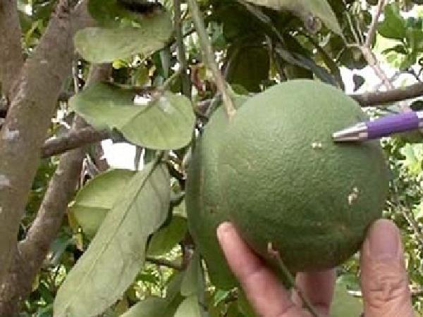 SB-Cách loại bỏ sâu đục quả trên cây có múi