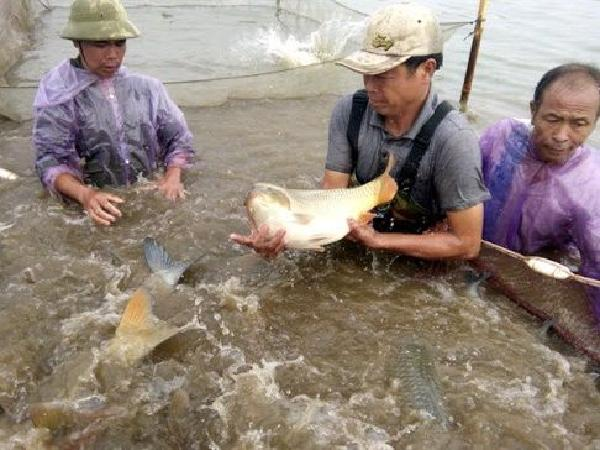 Giá nhiều loại cá nuôi giảm mạnh: bán cũng lỗ, không bán lại càng lỗ