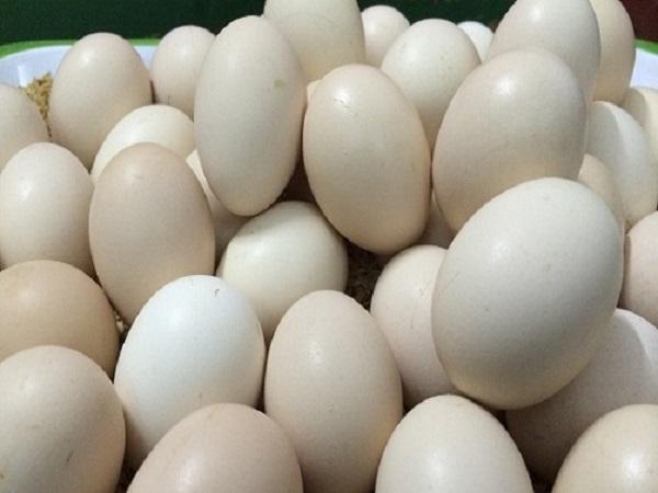 Lãi bộn nhờ ấp trứng gà lộn bán cho dân nhậu