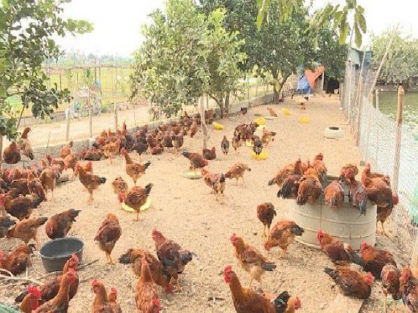 Tiêu hủy 1.000 con gà của một hộ nông dân vì nhiễm cúm gia cầm H5N6