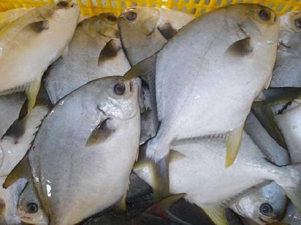Lựa chọn cá chim trắng vây vàng giúp nông dân thành tỉ phú