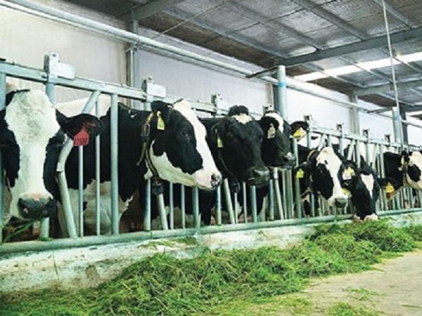 N-Cách để nâng cao sản lượng sữa bò hiệu quả