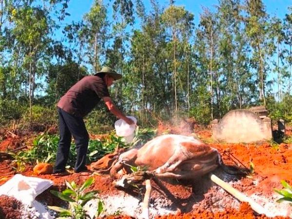 Tiêu hủy bò mắc bệnh lở mồm long móng, người chăn nuôi cần chú ý