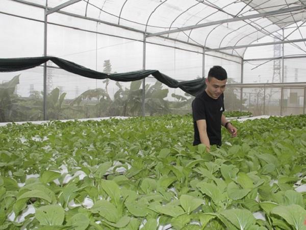Khởi nghiệp thành công với mô hình trồng rau thủy canh trong nhà kính