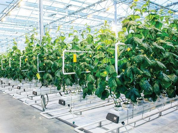 Ứng dụng cảm biến VPD trong nông nghiệp công nghệ cao