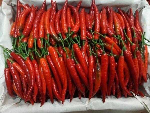 Giá ớt hiểm tăng đột biến lên 200.000 đồng/kg, nông dân trúng lớn