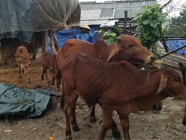 Nguy cơ bùng phát dịch bệnh nguy hiểm trên đàn gia súc, gia cầm