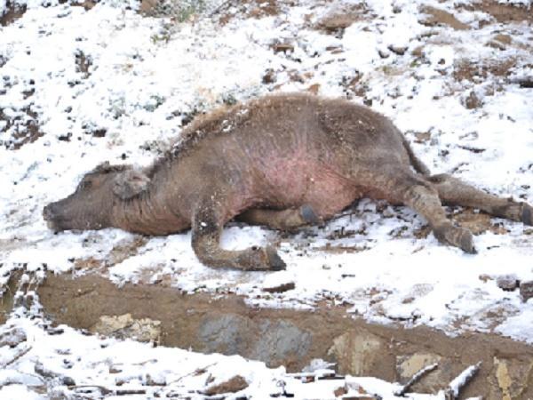 Xót xa cảnh trâu bò chết giữa tiết trời lạnh giá, rét đậm, rét hại