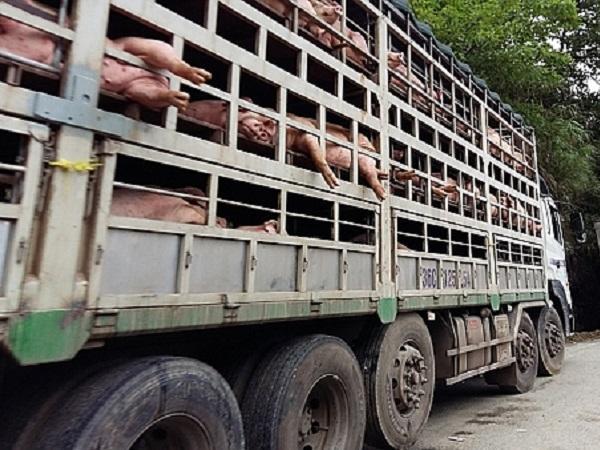 Giá lợn trong nước đạt đỉnh nhưng lợn vẫn xuất lậu sang Trung Quốc