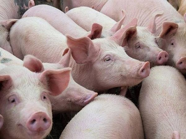 Giá lợn hơi không ngừng tăng cao, có thể chạm mốc 90.000 đồng/kg