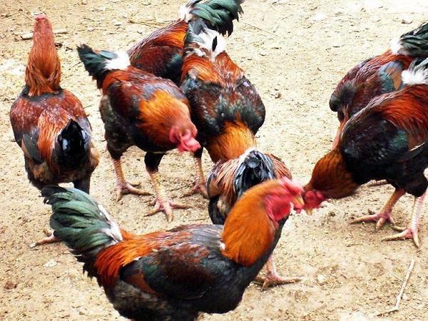 N- Những giống gà thịt cho năng suất cao, chất lượng thịt ngon nhất hiện nay