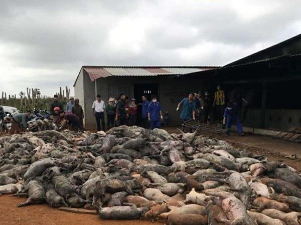 Cháy trang trại nuôi lợn giữa lúc giá lợn cao, ước tính thiệt hại 90 tỷ đồng