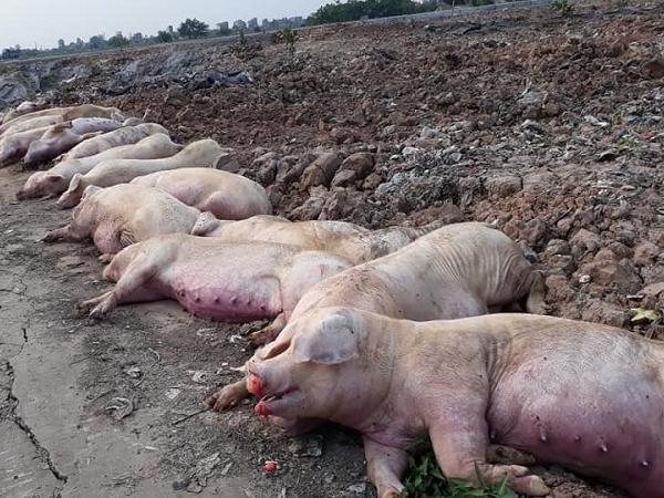Những thông tin quan trọng về ổ dịch tả lợn châu Phi mới bùng phát cần biết