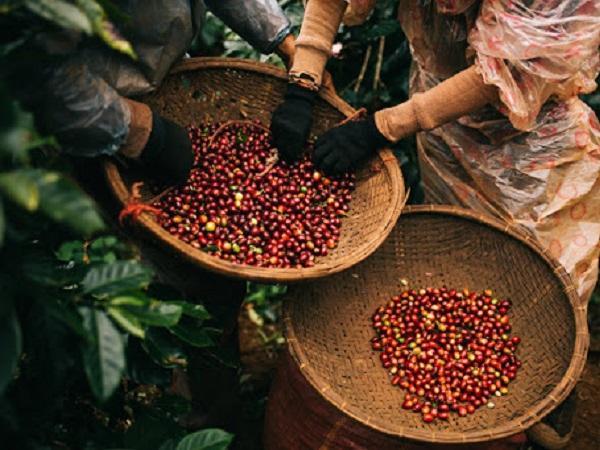 Giá cà phê tăng cao nhất kể từ đầu năm