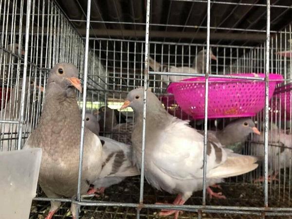 CB-Phác đồ điều trị chim bồ câu bị nhiễm khuẩn E.Coli hiệu quả