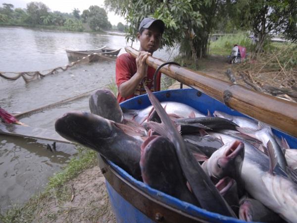 Người nuôi cá ở miền Tây bất an vì Campuchia tạm cấm nhập khẩu cá nuôi