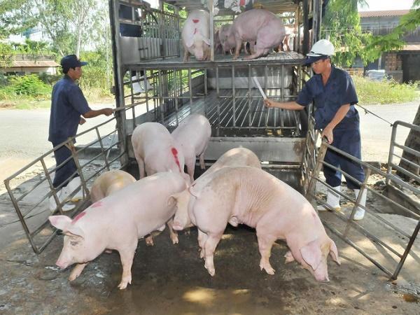 Nhập khẩu lợn từ Thái Lan rồi xuất lậu sang Trung Quốc, giá lợn sẽ ra sao?